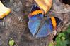 Indian Orange Oakleaf Butterfly (Kallima inachus) (Seventh Heaven Photography) Tags: indian orange oakleaf butterfly kallimainachus kallima inachus dead leaf nikond3200