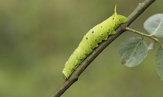 Poplar Hawk Moth larva (Laothoe populi).