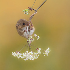 Tale of a Harvest mouse