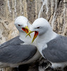 Kittiwake (quinnandy163) Tags: sigma150600mmsport wildbirdsseabirds farnislands nikond500