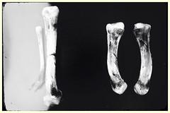 DNA-11463 (Poetic Medium) Tags: blackandwhite bones ipod kitcamghostbird snapseed stilllife