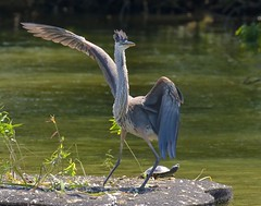 Saturday Night Fever (Slow Turning) Tags: ardeaherodias greatblueheron bird standing pose wingsspread turtle summer southernontario funny comical