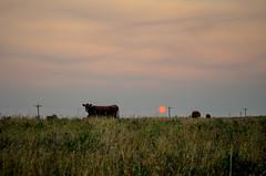 Red Sun rising (L E Dye) Tags: crookedcreek 2017 alberta canada d5100 haze ledye nikon smoke cows prairie rural