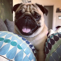 #Repost @kjelleddie ・・・ Finally bedtime! I'm on my way climping up on mums head aka my pillow now. Goodnight! ❤️ #crazypants #dog #dogs #dogstagram #dogoftheday #pug #pugs #pugstagram #pugsofinstagram #pugsnotdrugs #obsessedwithpugs #darklordpug #pe (FluffWonderland) Tags: baby dogstagram crazypants pugs cute darklordpug animals squishyfacecrew petstagram obsessedwithpugs pug pugsofinstagram dogs cuddles pugsnotdrugs repost dogoftheday flatfacedogsociety dog pets goodnight love pugstagram