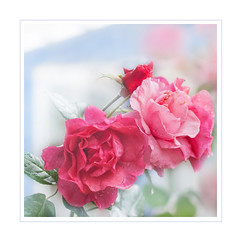 Weekend roses (BirgittaSjostedt_away until 24 February) Tags: roseflower macro window rain haze drop soft outdoor photoframe birgittasjostedt feeding flora flower flying focus foliage foreground garden green growth insect magicunicornverybest ie