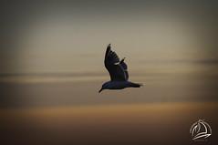 Study of Flight (uselessbay) Tags: 2017 nikond300 pointjudith rhodeisland uselessbayphotography williamtalleyjr birds dawn digital seagulls summer sunrise uselessbay usa
