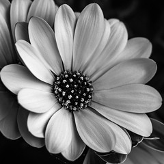 *** F L O W E R *** (*** Joe Wild ***) Tags: black white blackwhite blackandwhite schwarz weiss schwarzweiss 1000x1000 sony 7m2 zhongyi mitakon speedmaster f095 flower blüten petals bw bnw blacknwhite kontrast