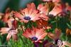 IMG_7184 copy (padraig thornton) Tags: flowers colorful macro closeup water drops nature natural light green garden outdoor padraig thornton canon 7d 100mm padraigjosephthorntongmailcom ireland greatphotographers