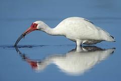 Crabbin... (DTT67) Tags: nature nationalgeographic wildlife birds canon 1dxmkii 500mmmkii whiteibis ibis hunting dingdarling florida extender2xiii