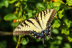 Female Eastern tiger swallowtail (Jim Atkins Sr) Tags: butterfly easterntigerswallowtail papilioglaucus lantana insect sony sonya58 sonyphotographing fairfieldharbour nc northcarolina macro closeup