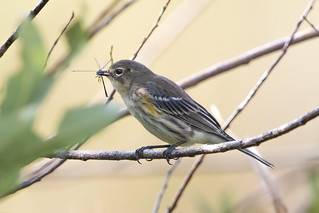 Yellow- rumped Warbler ( fall )