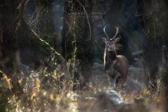Glimpse games (Stephen Hunt61) Tags: deer male young horns mammals animals wildlife italy forest nature natural outdoor eyes stefanocaccia natura bosco facciaafaccia animali cervo