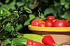 CKuchem-5595 (christine_kuchem) Tags: basilikum bauerngarten biogarten bioqualität ernte erntezeit fleischtomate garten gemüse gemüsegarten grün gurke hokaido kräuter kürbis nutzgarten paprika peperoni pflanze rarität sommer sorte sorten sortenvielfalt tomate vielfalt zucchini bio biologisch frisch gelb gesund lecker natürlich orange reif rot selten unbehandelt