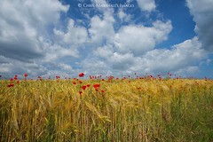 """""""Pretty as a Picture"""" Devonshire Poppies (Twogiantscoops) Tags: sky merge dew canon landscape filters poppies photomerge crash poppy field clouds southwest fineart light effects westcountry luminosity creative sunkissed country west countryfile 5dmk2 photoshop mirrorlock farm painterly secret colours painting summer creativity cpfilter manfrotto textural christmass 1635 tripod photography art flowers levels nature scoopsimages harvest seasons flora lee britishheartfoundation areyouanorgandonor southhams farmland ndgrads shutterrelease"""
