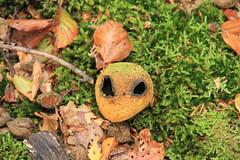 app42 (Tony Wyatt Photography) Tags: eppingforest epping forest london woods trees beech mushrooms flyagaric alienmushroom puffball corporationoflondon autumn roots treeroots austin austinofengland austincar oldfolks