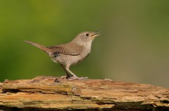 How Sweet the Sound (Slow Turning) Tags: troglodytesaedon housewren adult perched log wood singing vocalizing song calling summer southernontario