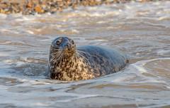 JWL7821  Common Seal.. (jefflack Wildlife&Nature) Tags: commonseal seal seals animal animals mammal seashore sea blakeney norfolk shoreline harbours harbourseal countryside coastal nature