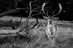 Buck & Tree (andy_AHG) Tags: fallow deer rutting season wentworth castle barnsley south yorkshire pennines outdoors british countryside rural northern england walking rambling united kingdom wildlife animals outdoor animal stag bucks mammal tatters velvet antlers monochrome