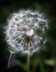 Circle Of Life (☼A Warm Fire Is So Nice!!!☼) Tags: odc circles round inthebackyard dandelion seeds white