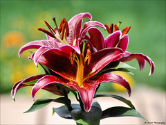 Explosion of Color (John Neziol) Tags: jrneziolphotography nikon nikoncamera nikondslr nikond80 nature interesting macro flower bokeh brantford beautiful outdoor portrait orientalpotlily lily bright florafauna blooms magnycours nikonflickraward