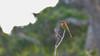 Bruinkopbijeneter-20040117-J0401-3421 (dirkvanmourik) Tags: birdsofsrilanka bruinkopbijeneter bundalanp chestnutheadedbeeeater hambantota meropsleschenaulti southernprovince srilanka bird