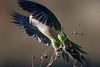 Despegue (marianoerro) Tags: takeoff hide cotorra myiopsittamonachus monkparakeet caturrita