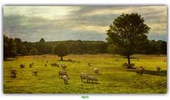 BENEATH YOUR TREE (régisa) Tags: vache cow prairie meadow tree arbre centrevaldeloire paysdetronçais allier auvergne bowerbirds