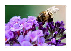 Busy As Can Bee (paulinecurrey) Tags: honeybee outdoors garden flora flower buddleia macro closeup insect colourful blur bokeh sunshine pollen nature natural