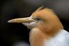 Cattle Egret (Simon Stobart) Tags: cattle egret bubulcus ibis malaysia ngc coth5 sunrays5 npc