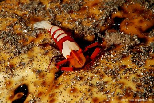 CelebesDivers - underwater 70 (emperor shrimp)