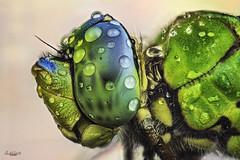 dragonfly model extreme portrait (anax imperator) (gatomotero) Tags: studiostack macroextremo macrosmuymacros apilado stack focusstack lilbelula anaximperator dragonfly portrait colores sonya7r ikealeeds difusores