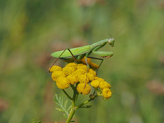Gottesanbeterin / Mantis (A.Dragonheart) Tags: fangschrecke gottesanbeterin insekt mantis mantodea tier animal insect blume flower natur nature outdoor grün green religiosa
