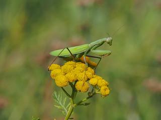 Gottesanbeterin / Mantis