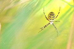 Wasp Spider (Benjamin Joseph Andrew) Tags: