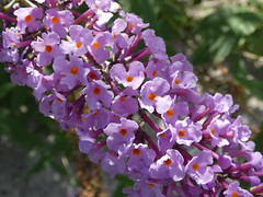 Buddleja davidii close up (Linda DV (away)) Tags: lindadevolder lumix belgium brussels geotagged geomapped nature environment greenpromenade molenbeek valleyofthemolenbeek 2017 buddlejaceae buddleja butterflybush ribbet buddlejadavidii wildflower