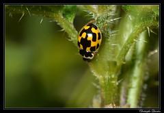 Coccinelle à damier (Propylea quatuordecimguttata)