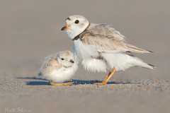 Piping Plover & Chick (Matt F.) Tags: piping plover chick nature