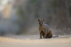 Fossa (Daniel Trim) Tags: cryptoprocta ferox fossa fosa predator kirindy forest nature wildlife madagascar africa mammal