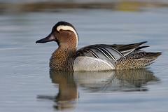 garganey (leonardo manetti) Tags: wild wildlife nature natural lake sunrise birds bird animal animals nikon d810 spring garganey