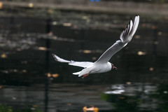 Docklands 30th July 2017 (3 of 22) (johnlinford) Tags: bird birds canon7d canoneos7d docklands eastindiadockbasin flight gull london londondocklands poplar seagull towerhamlets water waterfowl