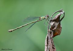 L'Agrion de Mercure femelle (jean-lucfoucret) Tags: closeup nikon d 500 nikkor 105 macro macrophotographie marais nature insecte libellule eau étang animal odonate zygoptère agrion de mercure coenagrion drangoflies sympetrum damselfly