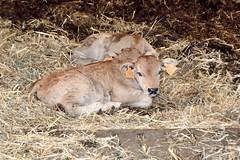 Haute-Rivoire (Rhône) (Cletus Awreetus) Tags: france montsdulyonnais rhône hauterivoire agriculture élevage bovin aubrac veau animaldomestique animal