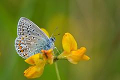 Common blue3 (Polyommatus icarus) explored (tonynorth1) Tags: commonblue macrodreams
