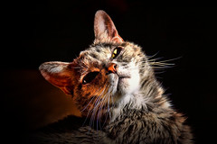 Miss Betty (LupaImages) Tags: cat feline tiny face whiskers fur animal pet family