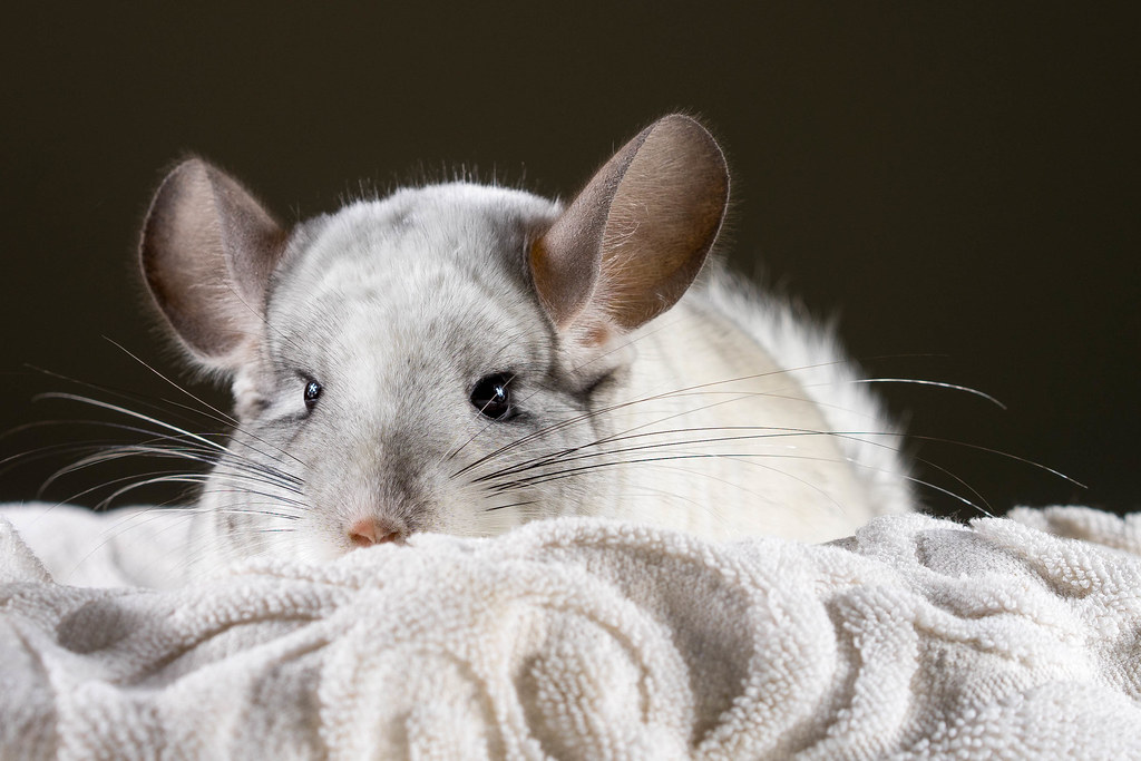 chinchilla research papers Research using chinchillas may lead to improved ear infection  piece of signed  blue paper and not the faintest idea that they had forgotten to.