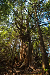 Tree of life - EXPLORED (Aug 6th, 2017) (JD~PHOTOGRAPHY) Tags: tree oldgrowth trees nature pacificrimnationalreserve pacificrim vancouverisland canon canon6d