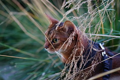 Lizzie in grass (DizzieMizzieLizzie - Off for a while) Tags: abyssinian aby beautiful wonderful lizzie dizziemizzielizzie portrait cat chats feline gato gatto katt katze katzen kot meow mirrorless pisica sony animal pet 2017