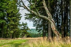 na szlaku (MichalKondrat) Tags: drzewa sierpień polska 2017 natura kotlinakłodzka przyroda masywśnieżnika niebo pejzaż sudety zieleń dolnośląskie góry chmury krajobraz