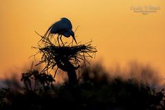White Egret Sunrise Silhouette
