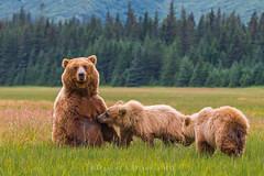"Nursery Rhymes  8589 (Dr DAD (Daniel A D'Auria MD)) Tags: ""brownbears"" ""brownbearcubs"" ""bears"" cubs nature wildlife mammals predators ""livingwithbears"" grizzly grizzlies ""coastalbrownbears"" alaska ""lakeclarknationalpark"" ""danielad'auriamd"" ""drdadbooks"" ""children'swildlifebooksbydanielad'auriamd"" ""july2017"""